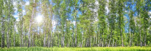 Bosquet de bouleaux Birch grove on a sunny spring summer day, landscape banner, huge panorama