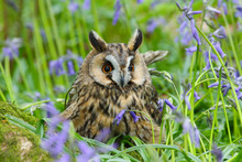 Long Eared Owl (Asio Otus) In ...