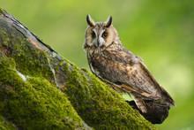 Long Eared Owl (Asio Otus) In ...