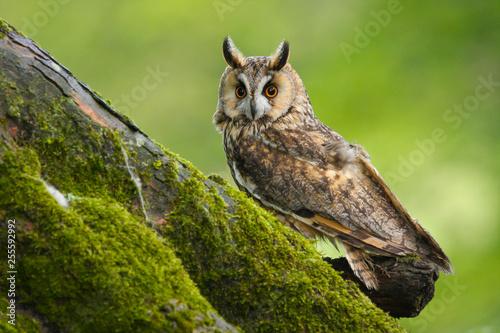 Naklejki Sowa   long-eared-owl-asio-otus-in-the-welsh-countryside-uk
