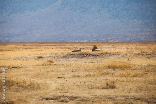 Foto op Plexiglas Afrika Lion (Panthera leo) family laying in the dry grass at Ngorongoro National Park, Tanzania