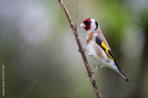 Photo  Stieglitz kletternd am Halm Goldfinch Carduelis carduelis