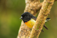 Male Tomtit, South Island Subspecies, Native New Zealand Bird Sitting In Tree On Bluff Hill