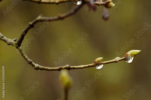 Fotografia  Ast mit einer Blüte nach einem Regen mit Regentropfen