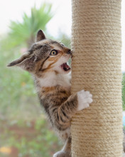 Crazy Cat Kitten, European Shorthair, Playing Boisterously With A Scratching Post And Practicing Fighting Maneuvers