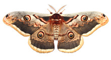 Moth, Saturnia Pyri, The Giant...