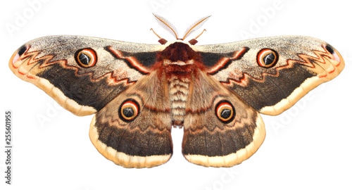 Moth, Saturnia pyri, the Giant Peacock moth, Great Peacock moth, Giant Emperor moth or Viennese emperor (Lepidoptera: Saturniidae). Isolated on a white background - 255601955