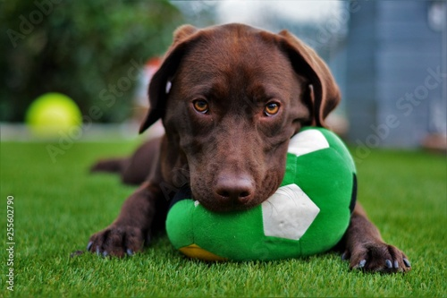Cute labrador puppy in green grass on a summer day with ball