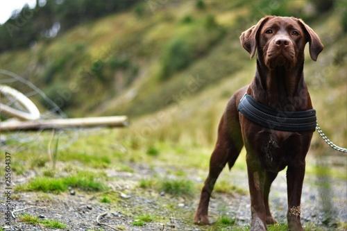 chocolate labrador walking through welsh landscape
