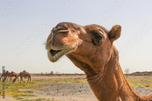 Spoed Fotobehang Kameel Camel feeding in desert
