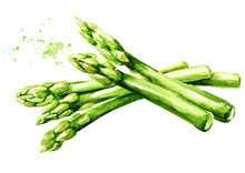 Fresh Green Asparagus, Watercolor Hand Drawn Illustration,  Isolated On White Background