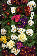 Primrose (Primula). Colorful Spring Flowers.