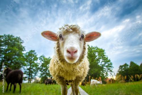 Fond de hotte en verre imprimé Sheep Sheep looking at the camera