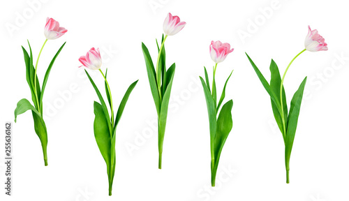 Fototapeta collection of tulip flowers isolated on white background with saved clipping pat