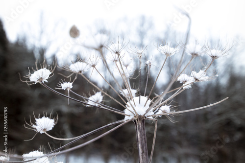 Fototapety, obrazy: Dry plant of a dandelion covered in snow in a close up image located in a wintry landscape