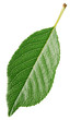 Cherry green leaf isolated on white background with clipping path. Full depth of field.