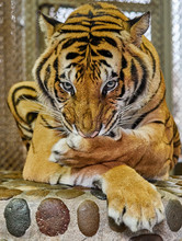 Tiger Washes His Paw