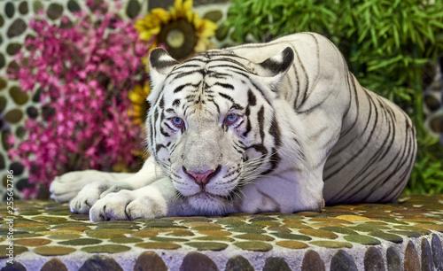 Biały pasiasty tygrys