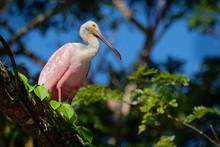 Roseate Spoonbill - Platalea Ajaja Gregarious Wading Bird Of The Ibis And Spoonbill Family, Threskiornithidae