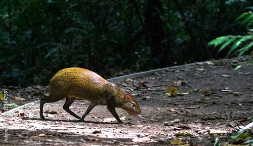Photo Central American agouti (Dasyprocta punctata), Monteverde Cloud Forest Reserve, Costa Rica