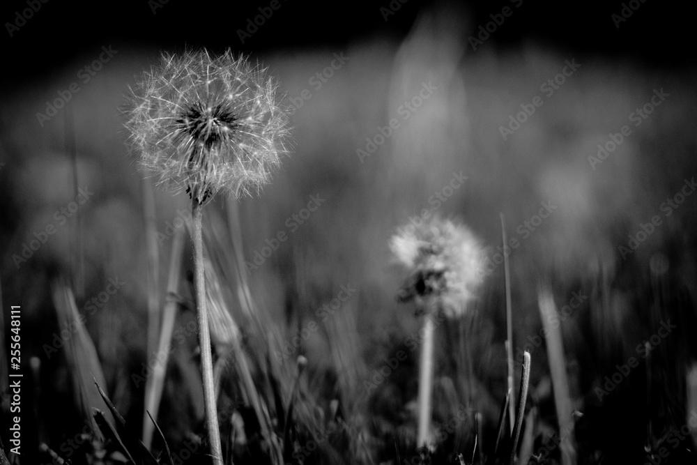 Fototapety, obrazy: Dandelion seed head