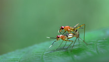 Flies Mating On A Leaf, Osa Pe...