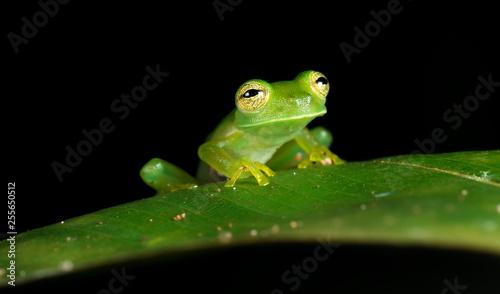 Emerald glass frog (Centrolene prosoblepon, or Espadarana prosoblepon), Osa Peninsula, Costa Rica.