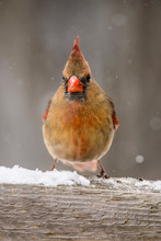 Little Female Cardinal In The ...