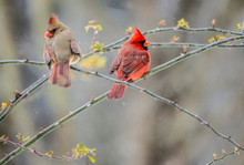 Male And Female Cardinal Rests Together On A Branch In The Winter.