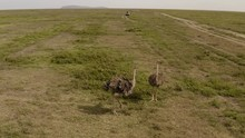 Two Ostriches Walking In Serengeti Great Valley With A Safari Tour Car In A Distance, Serengeti National Park, Tanzania.