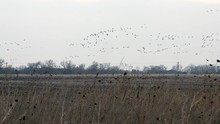 Flock Of Sandhill Cranes Fly L...