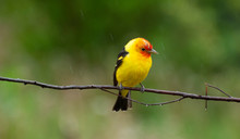 Yellow Bird On A Branch
