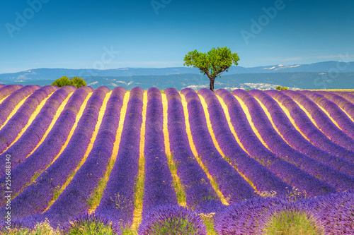 Foto op Aluminium Snoeien Summer landscape with violet lavender bushes in Provence, Valensole, France