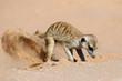 canvas print picture A meerkat (Suricata suricatta) foraging actively in natural habitat, Kalahari desert, South Africa.