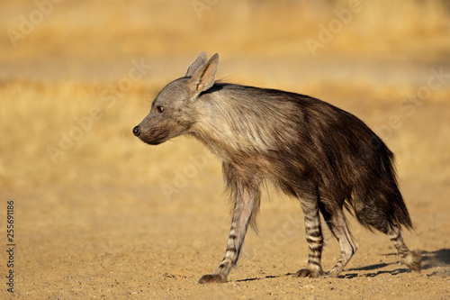 Poster Hyène An alert brown hyena (Hyaena brunnea), Kalahari desert, South Africa.