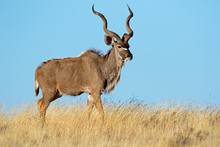 Male Kudu Antelope (Tragelaphus Strepsiceros) Against A Blue Sky, South Africa.