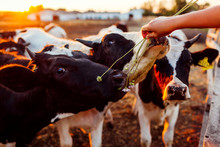Farmer Feeding Cows With Grass...