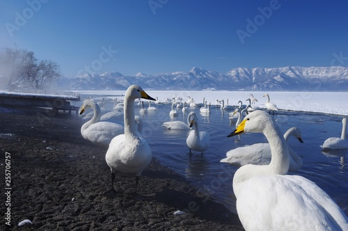 Stickers pour portes Cygne wild swans, Kussharo Lake in Hokkaido オオハクチョウ北海道