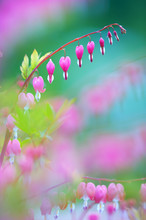 Bleeding Heart (Lamprocapnos Spectabilis) Flowers. Soft Focus Image With Shallow Depth Of Field.
