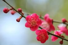 梅の花 Plum Blossom