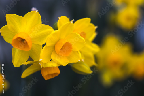 Foto op Canvas Narcis 水仙の花