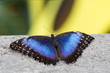 Closeup of blue morpho butterfly on concrete with soft focus yellow and green background