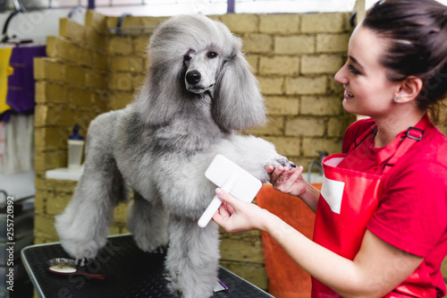 Female groomer brushing standard gray poodle at grooming salon. Tableau sur Toile