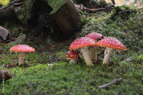 Group of red and white poisonous mushroom Amanita muscaria in the moss spruce forest Canvas Print