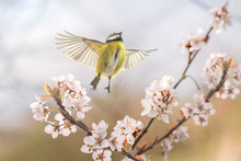 Der Singvogel Blaumeise An Einer Blühenden Blutpflaume Zeigt, Dass Endlich Frühling Ist