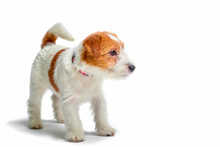 Jack Russell Terrier Puppy Close Up On White Background, Copy Space