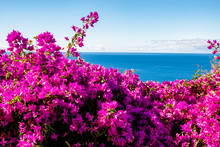 Purple Bougainvillea And Ocean