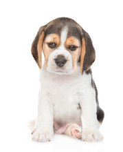 Sad Little Beagle Puppy Looking At Camera. Isolated On White Background