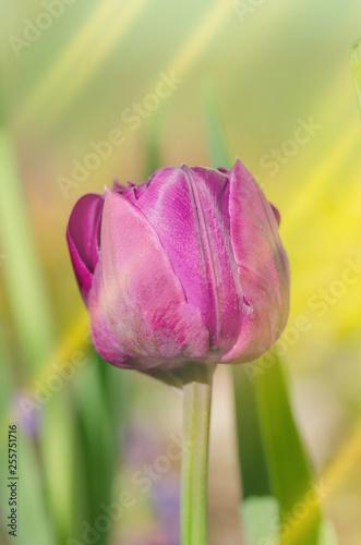 Printed kitchen splashbacks Khaki Purple peony tulip. Purple violet tulip in the garden