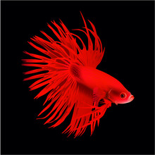 Red Betta Fish Vector Illustra...